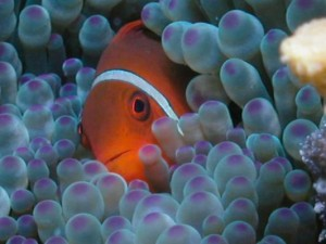 Nemofisk i anemone_532x399